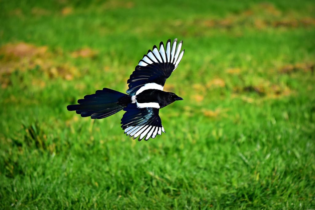 Magpie by Mabel Amber